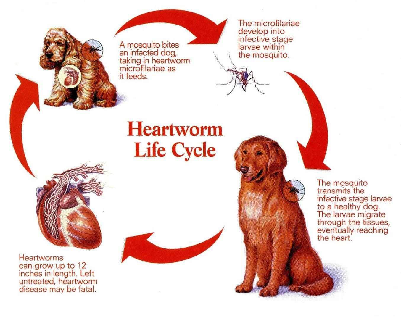 Deadly Heartworm Risk