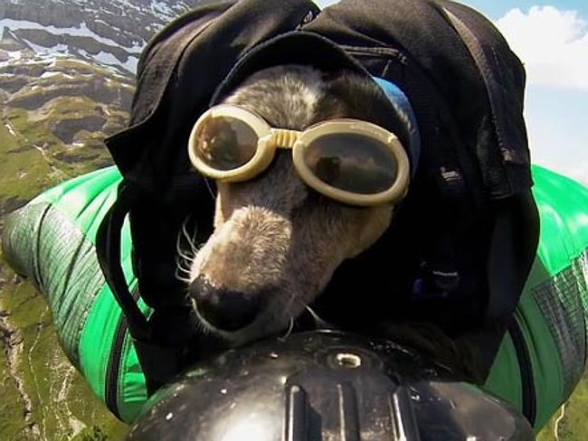 Base Jumping Dog Has Audiences Divided