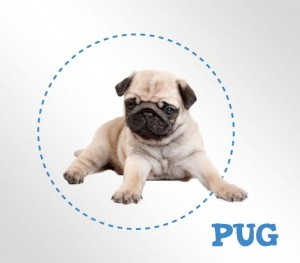 All About The Breed Pug