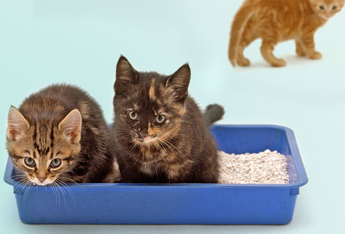 Small Cats to use a litter box