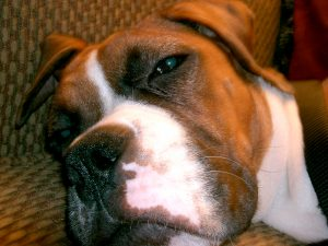 pet_insurance_dog_insurance_boxer