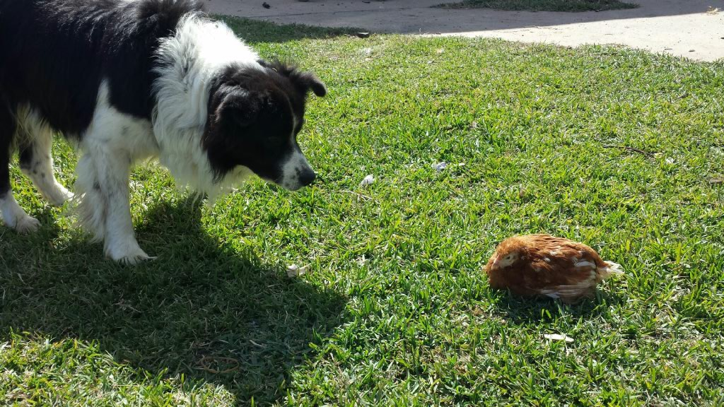 Dog looking at Hen