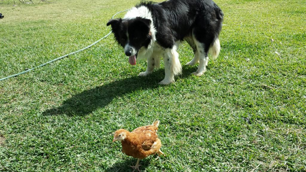 Dog playing with Hen