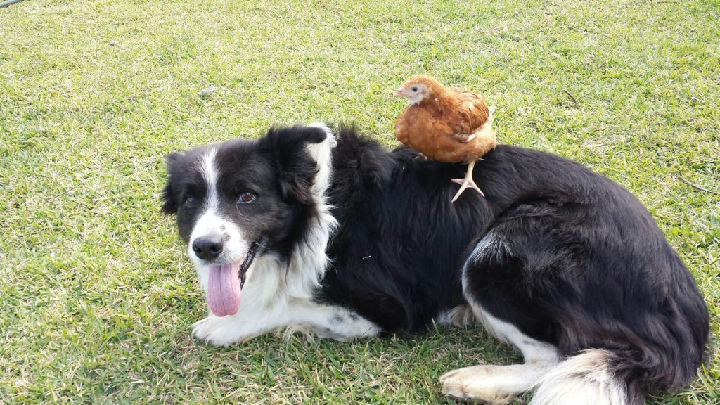 Hen sitting on Dog