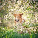 dog in spring_pet insurance_dog insurance