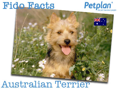 Fido Facts Aus Terrier