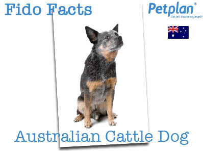 Fido Facts Australian Cattle Dog