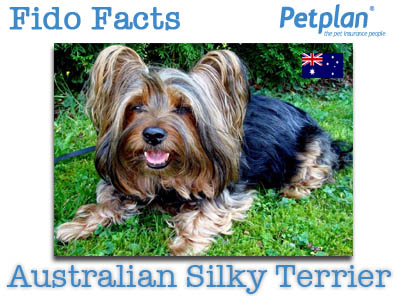 Fido Facts Australian Silky Terrier