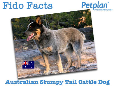 Fido Facts Australian Stumpy Tail