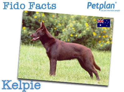 Fido Facts Kelpie