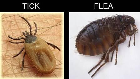 Tick Flea