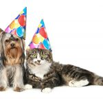 Yorkshire terrier and a Norwegian forest cat in festive cones re