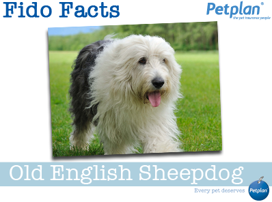 Fido Facts - Old English Sheepdog