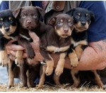 working_dogs_australian_breeds_Melanie_Faith_Dove_4