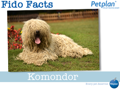 Fido Facts - Komondor