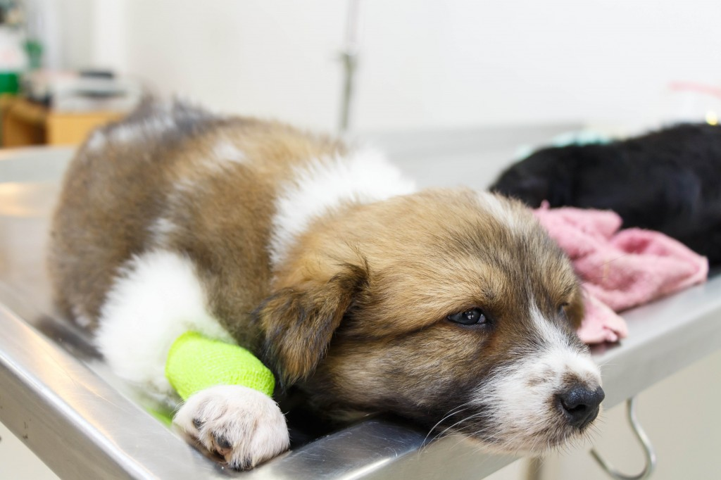 Sick Puppy On Vet Table Reduced