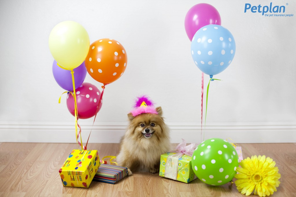 Pomeranian with Presents Petplan