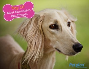 Most Expensive Breed Saluki