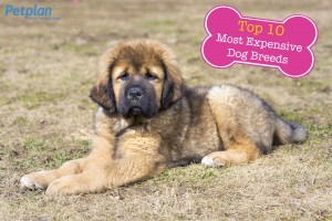 Most Expensive Breed Tibetan Mastiff