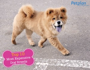 Most Expensive Dog Breed Chow Chow