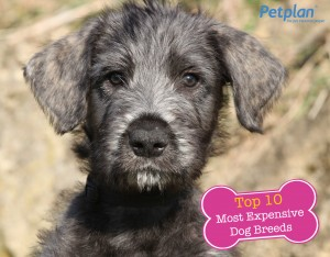 Petplan Most Expensive Dog Irish Wolf Hound