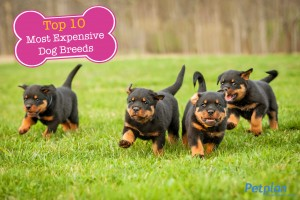 Most Expensive Dogs Rottweilers