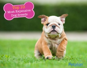 Top Expensive Breeds English Bulldog