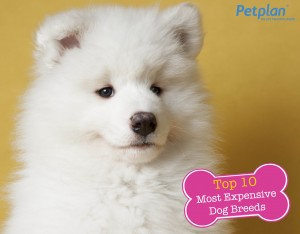 Top Expensive Dog Breed Samoyed