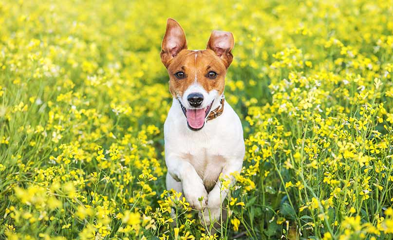 what to know if you re buying a jack russell terrier