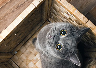 Cat_Box_365x260