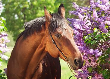 Horse_Flowers_365_260