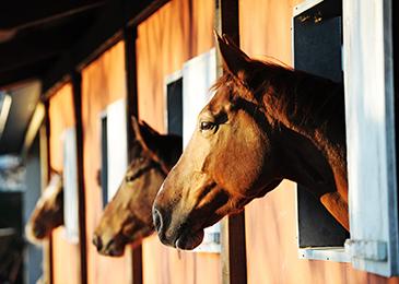 Horses_Barn_365x260