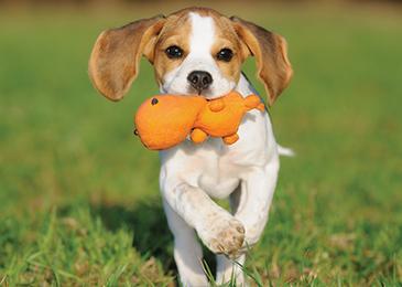 Beagle_Puppy_365x260