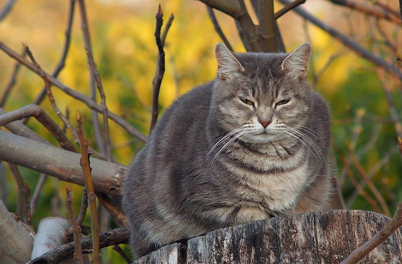 fat cat au