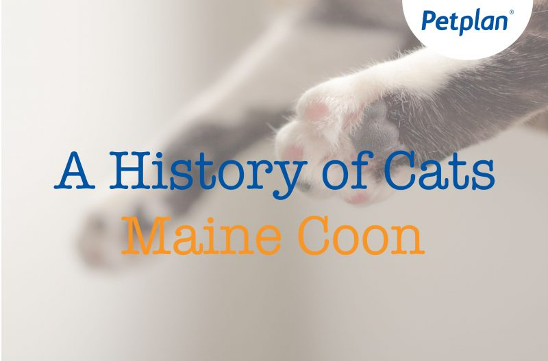 A History of Cats: Maine Coon «