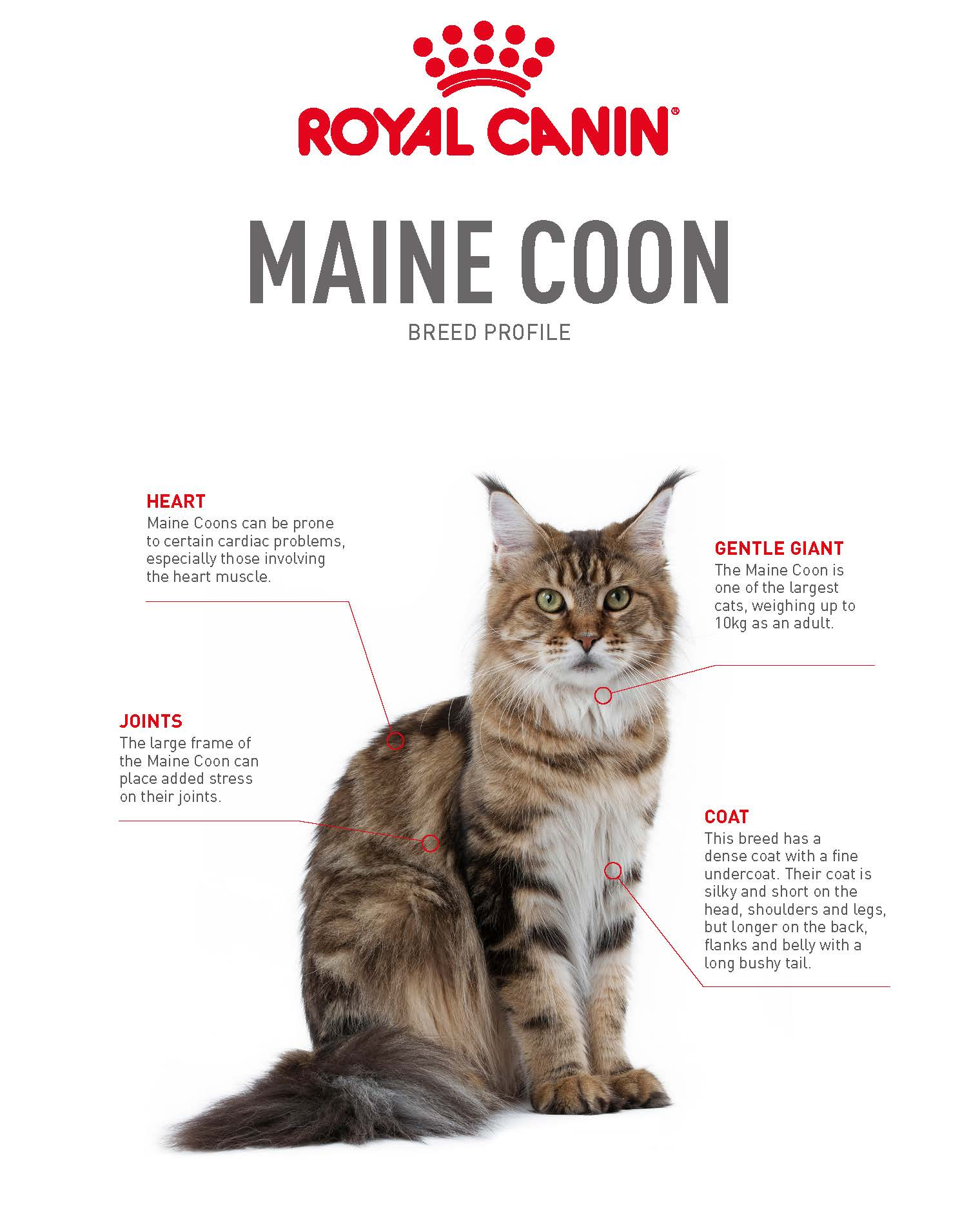 Maine Coon Breed Profile