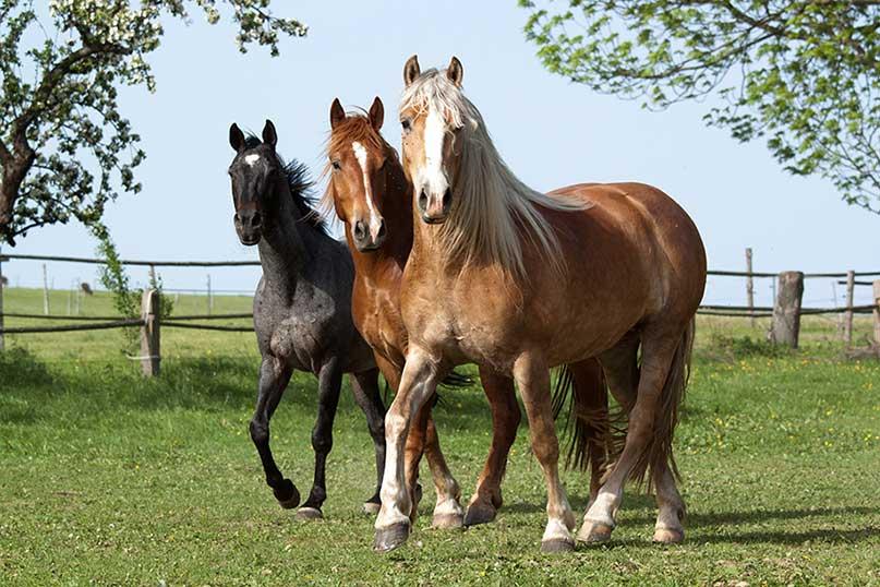horse squad