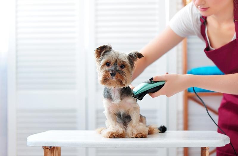 Yorkie puppy getting haircut